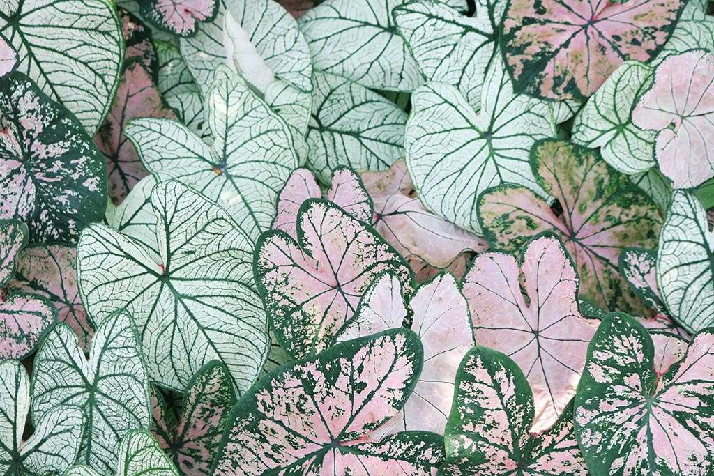 Close-up of large light pink and green leaves.
